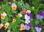 ჭრელი ყვავილი
