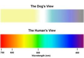 ამ ფერებში ხედავენ ძაღლები სამყაროს