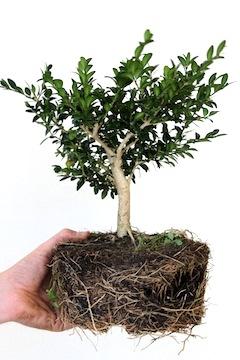 bonsai-cutting-3years