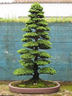 bonsai-from-seed-070