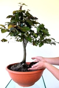 yamadori-potting