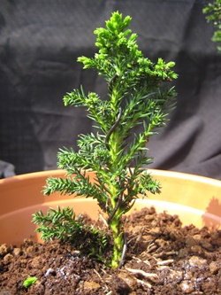 young-bonsai-015