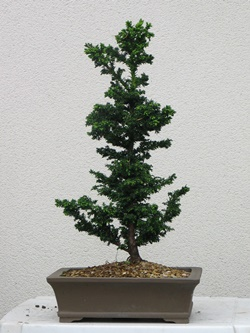 young-bonsai-030