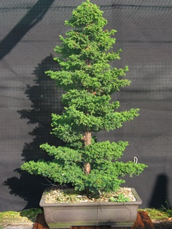 young-bonsai-040
