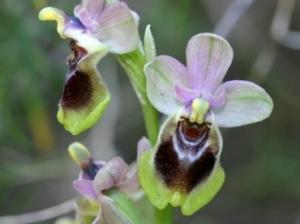 ორქოდეა/orchid